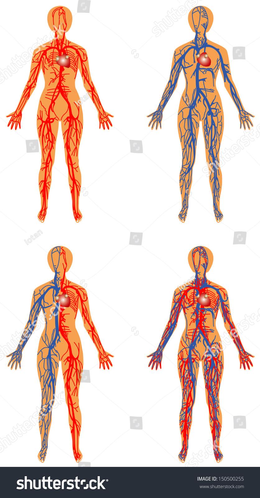 Human Vascular System Female Human Circulatory Stock Vector Royalty