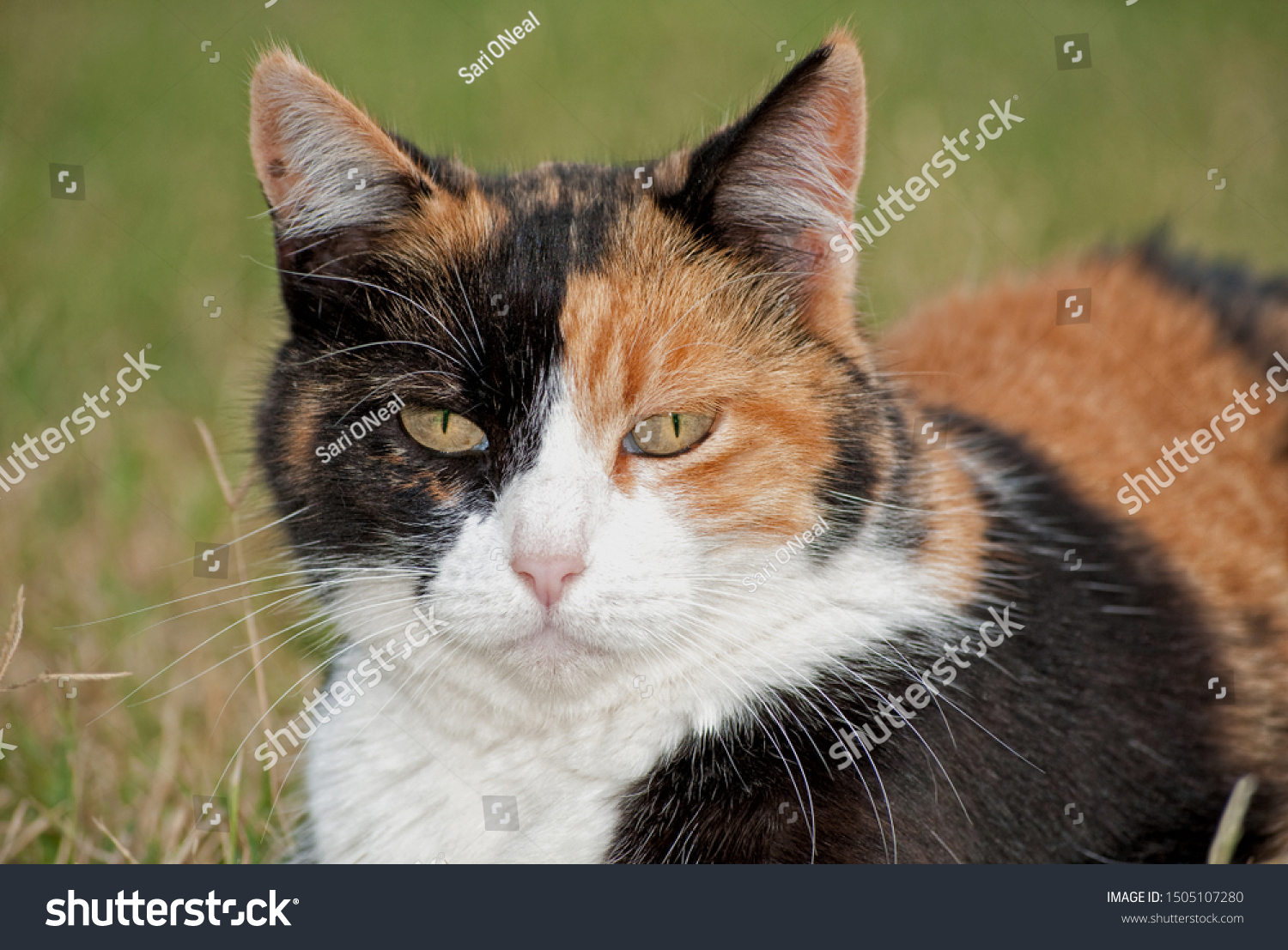 stock-photo-closeup-of-a-calico-cat-with