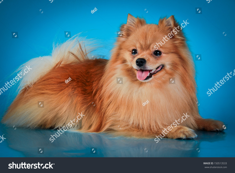 Red Pomeranian Stock Photo 150513533 : Shutterstock