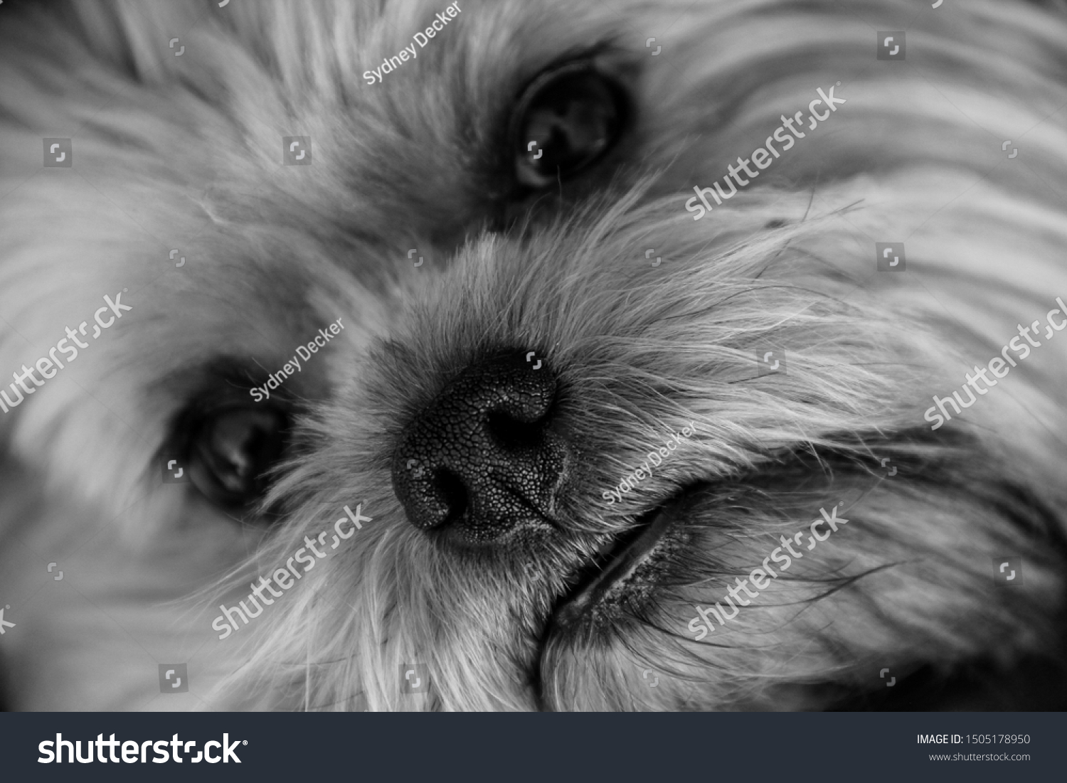 Morkie Puppy Face Black White Stock Photo Edit Now 1505178950