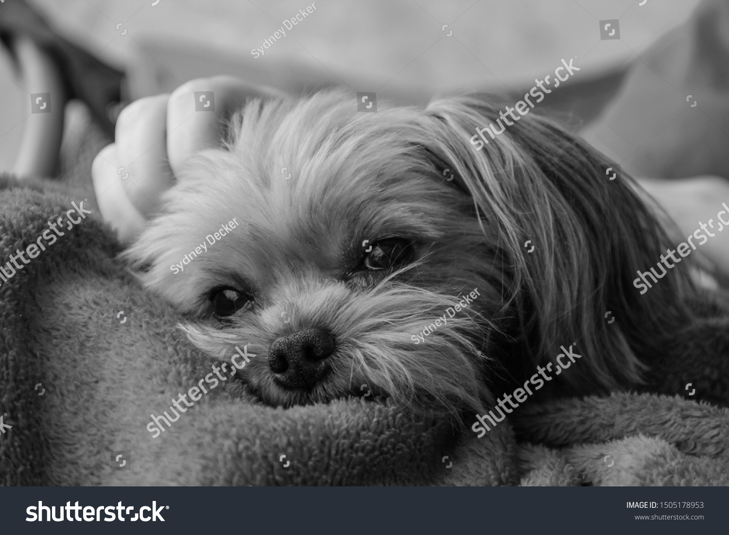 Tired Morkie Pup Black White Stock Photo Edit Now 1505178953