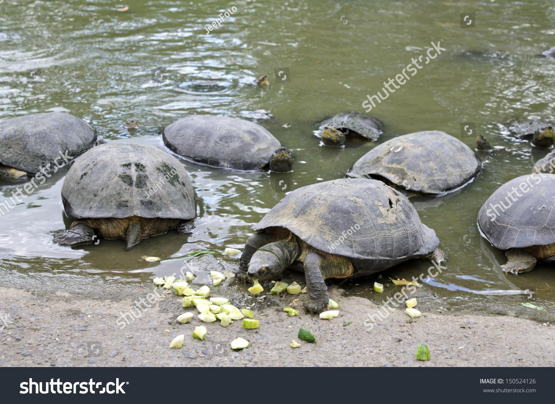 Fresh Water Turtles Eating Cucumber Stock Photo 150524126 ...