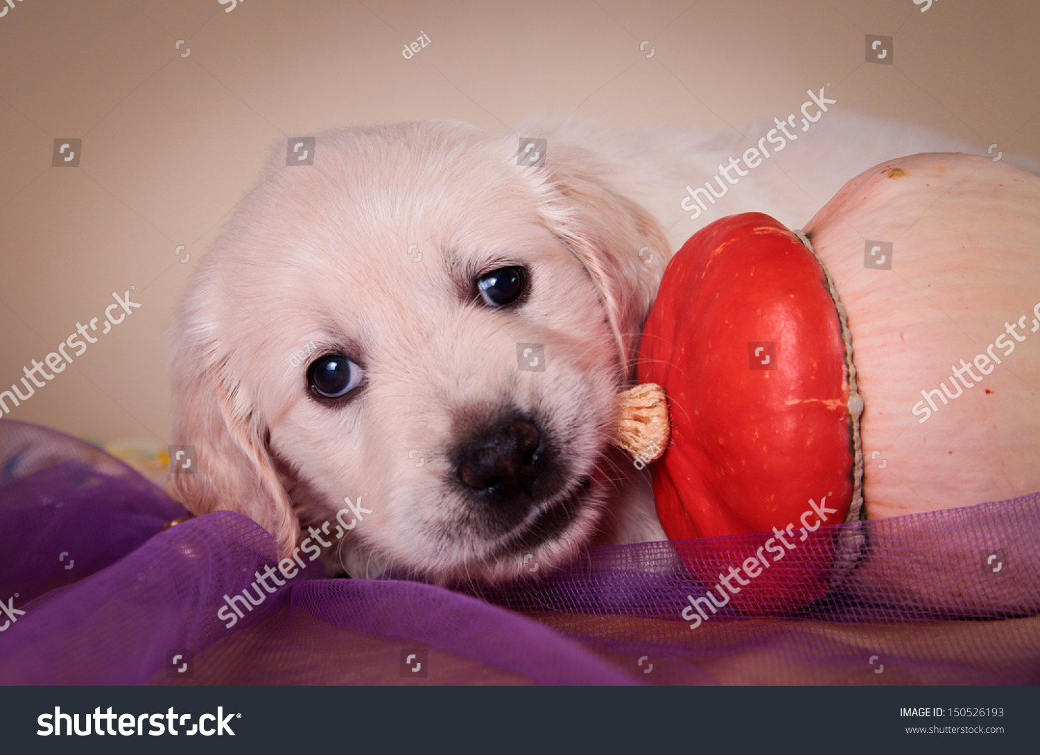 Cute Golden Retriever Puppy On Colored Stock Photo Edit Now