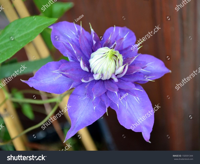Big Purple Flower White Center Stock Photo Edit Now 150591344