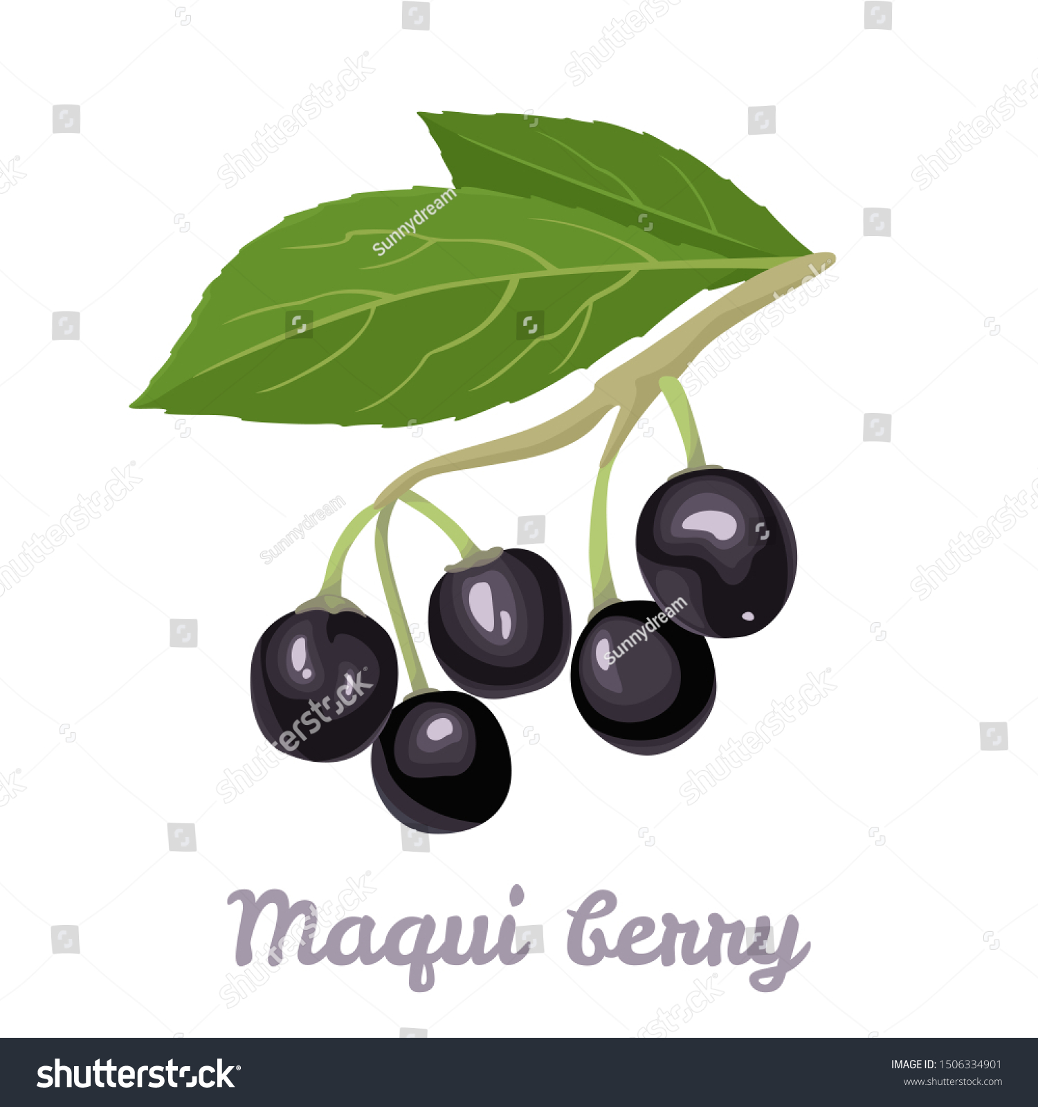 Maqui Berry Isolated On White Background Stock Vector Royalty
