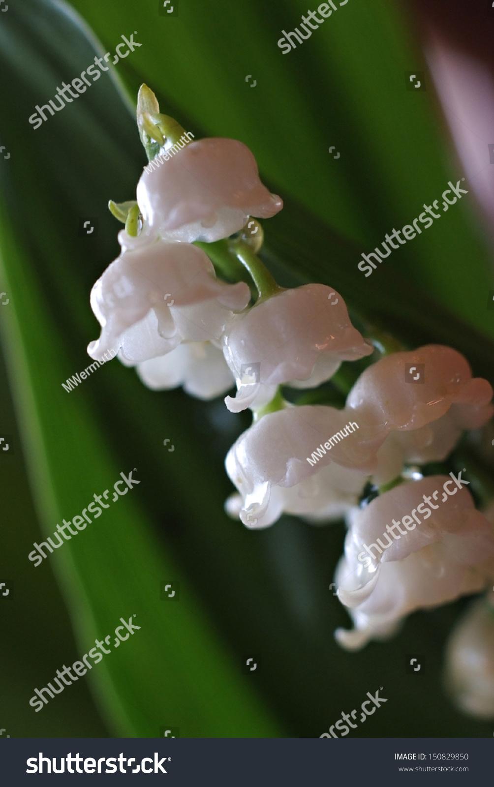 White Bell Flowers Ez Canvas