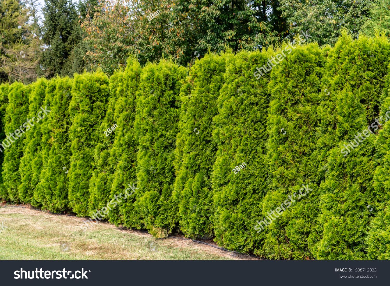 Green Hedge Thuja Trees Landscape Design Stock Photo Edit Now