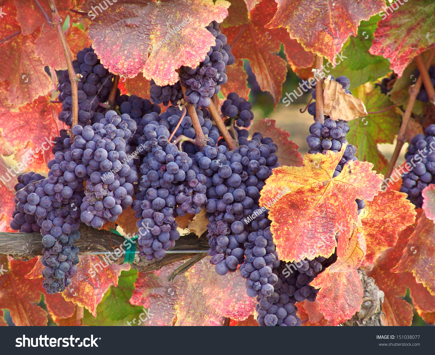 In Autumn, Harvest: Cluster Must in Images