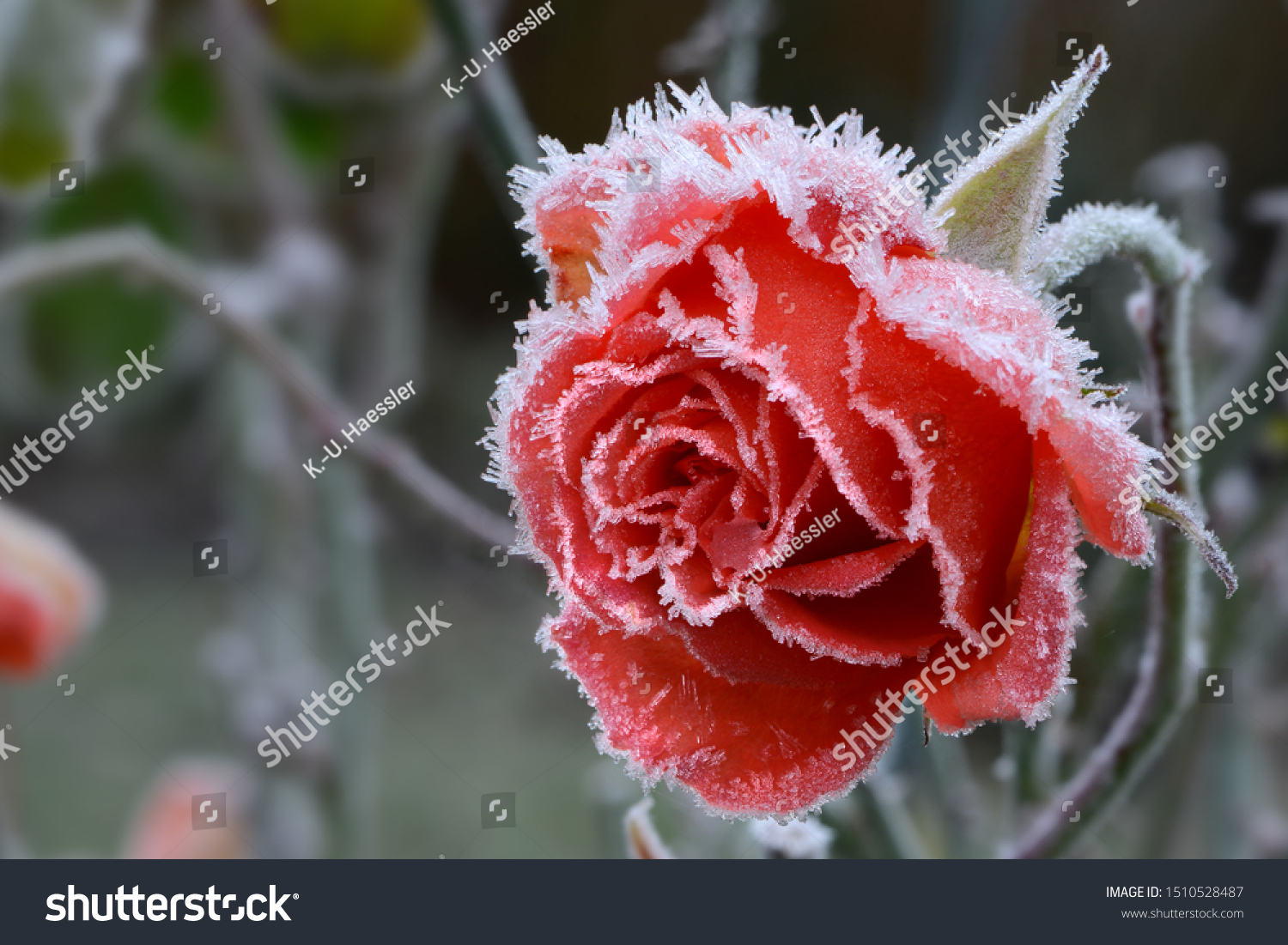 Rose blossom in autumn after a night frost