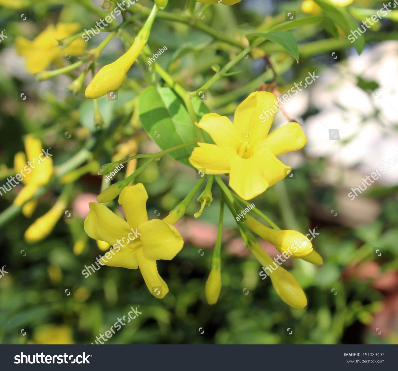 Fragrant Yellow Flowers Carolina Jasmine Burst Stock Photo Edit Now