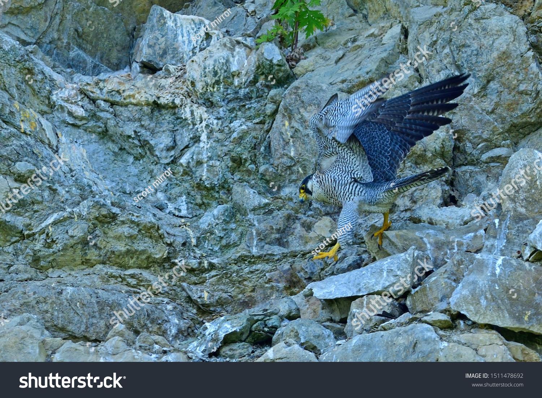 Parent Bird Peregrine Falcon Hayabusa Relaxing Stock Photo Edit Now 1511478692