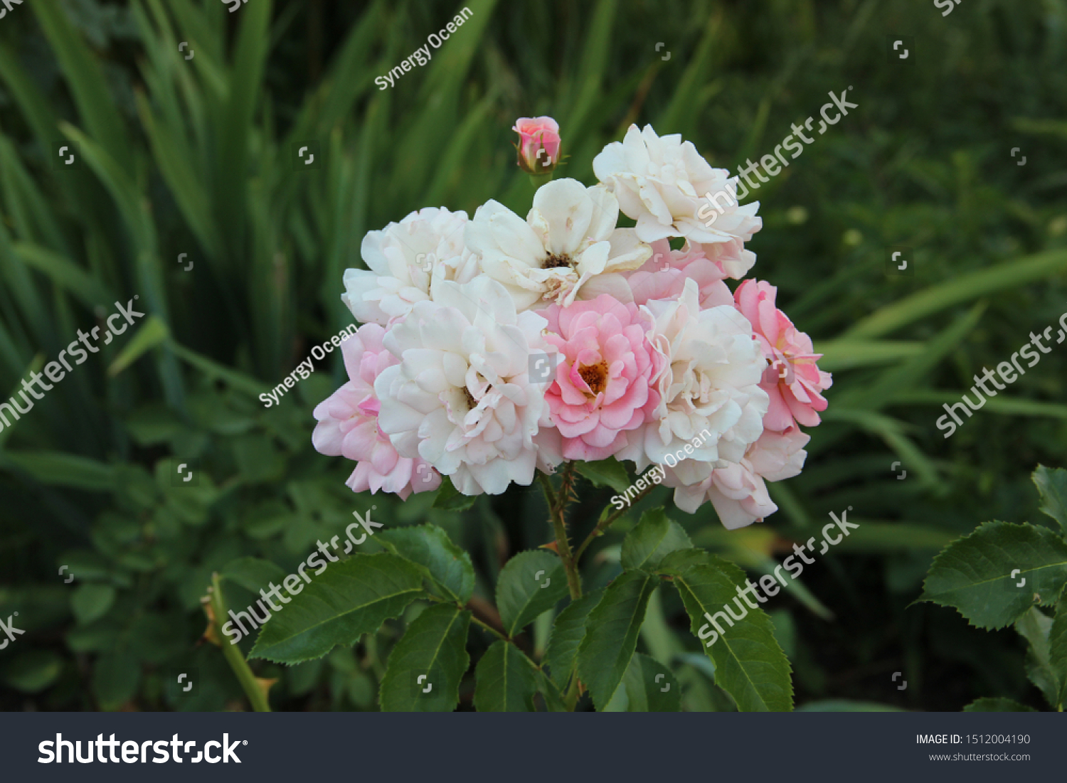 Beautiful Floral Landscape Pink Tender Rose Stock Photo Edit Now