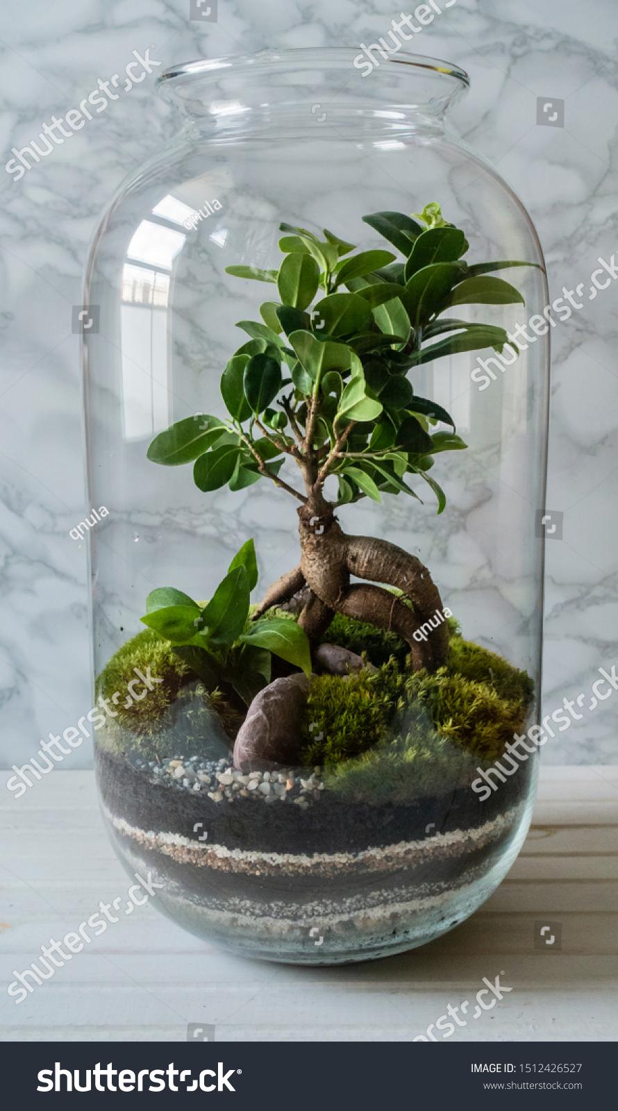 Mini Garden Terrarium Bonsai Tree Glass Stock Photo Edit Now 1512426527