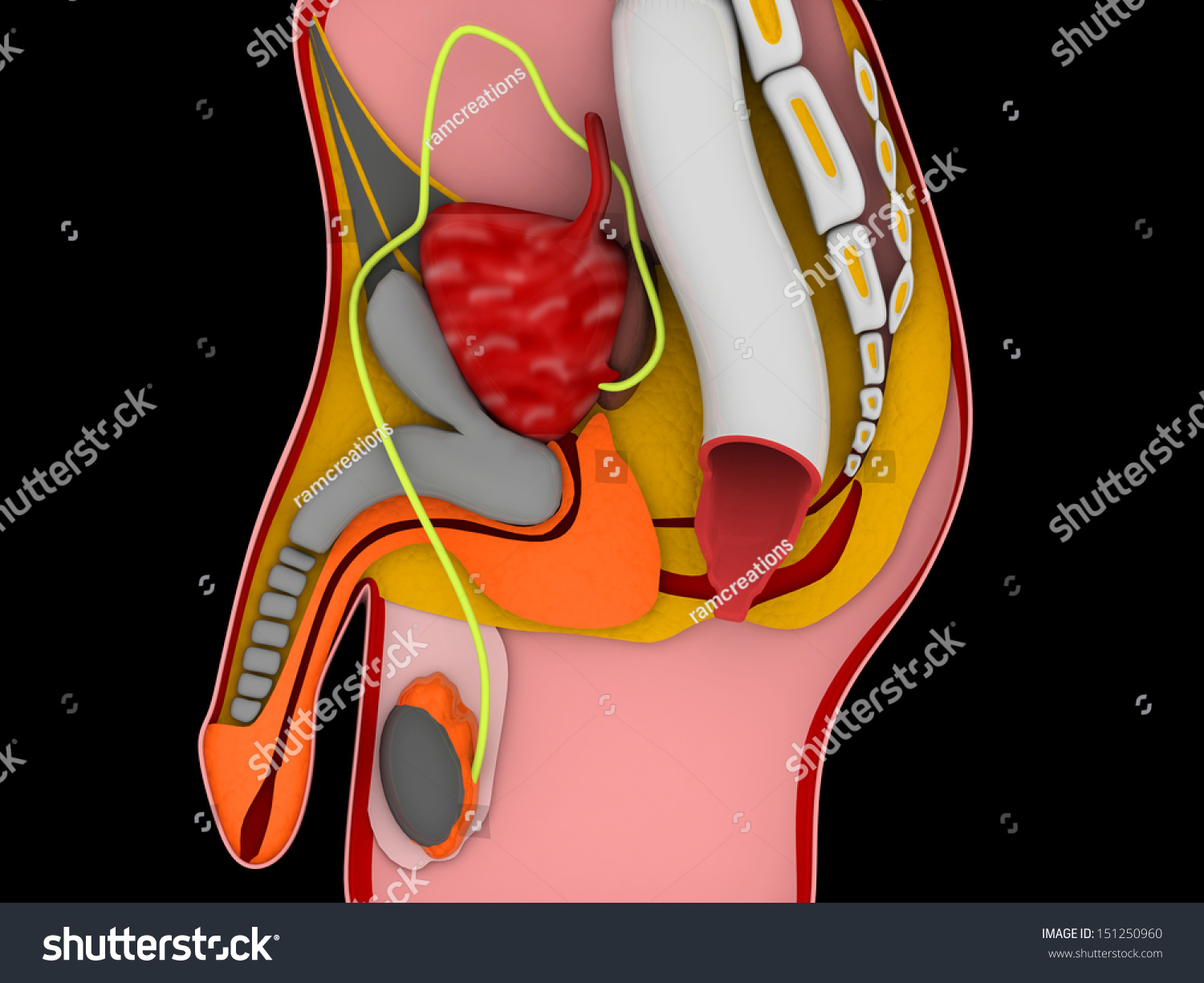 3 D Anatomy Male Reproductive System Stock Illustration 151250960 ...