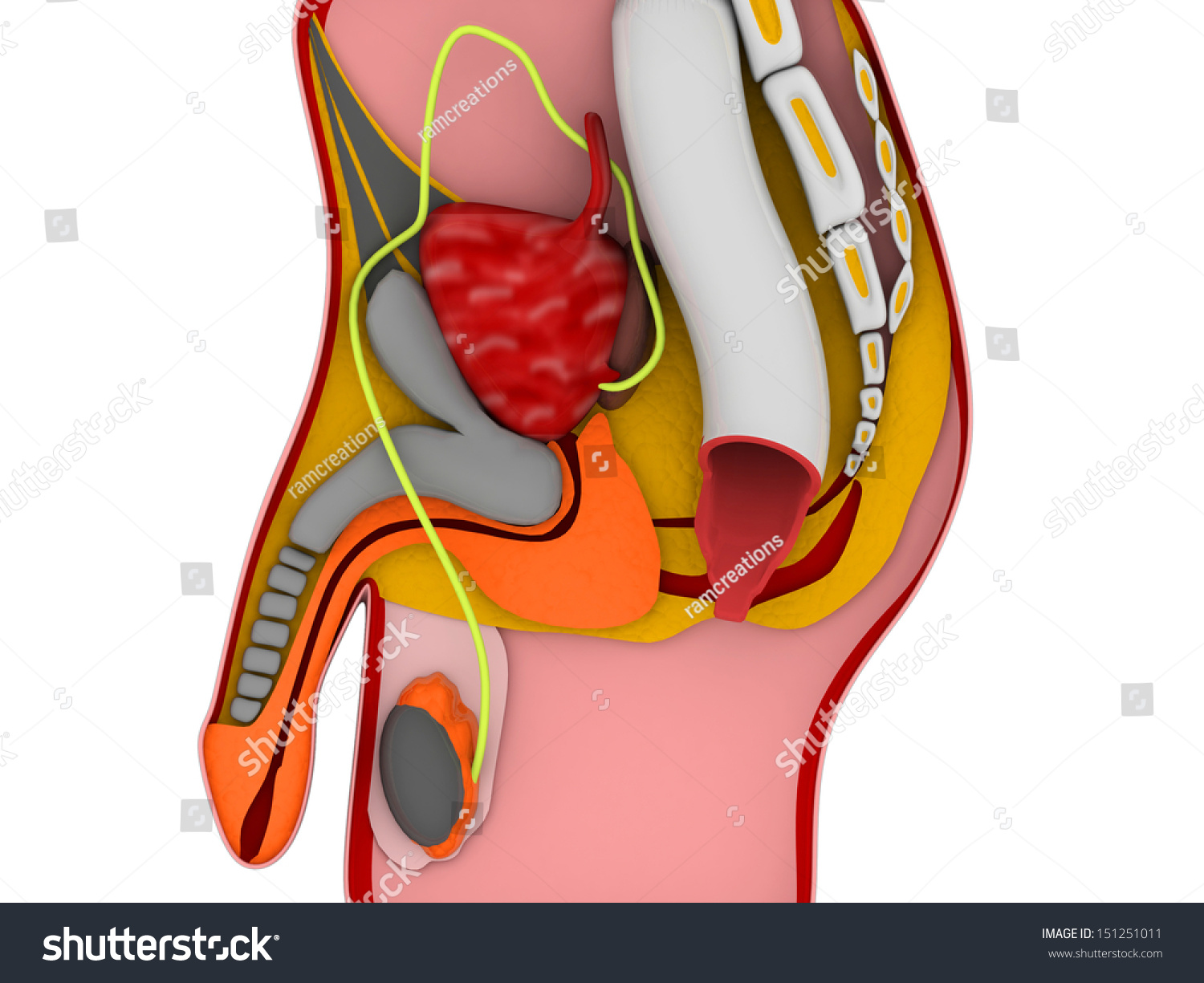 3 D Anatomy Male Reproductive System Stock Illustration 151251011
