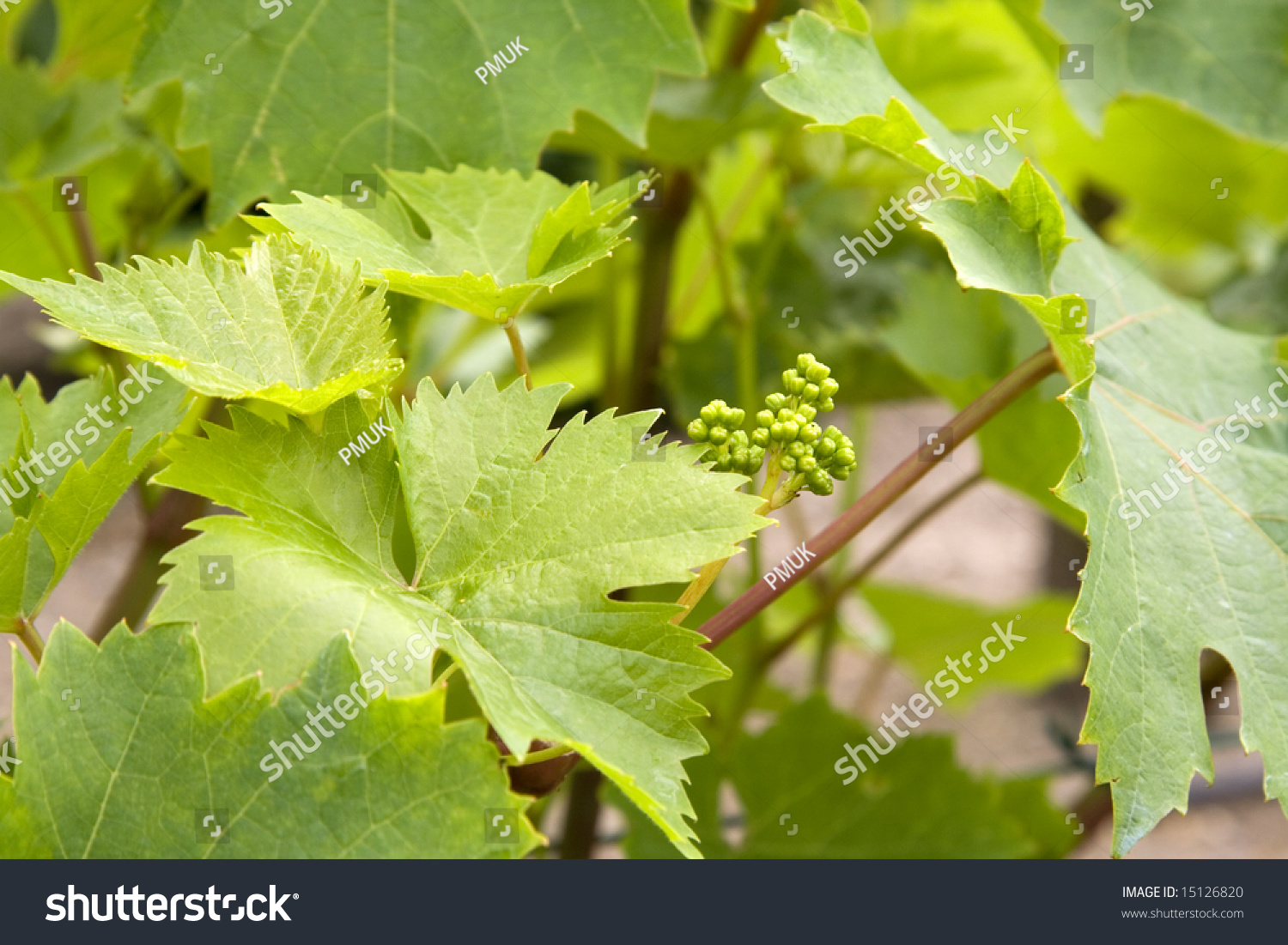 Very Small Grapes Just Starting Grow Stock Photo Edit Now 15126820