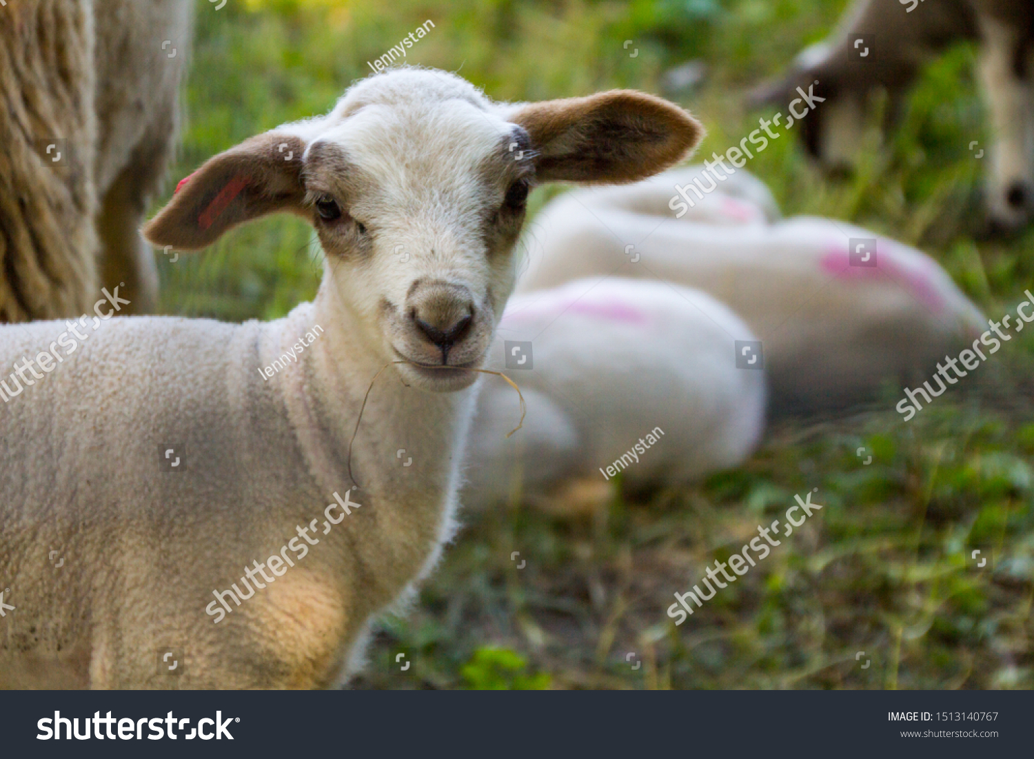 stock-photo-small-white-lamb-with-brown-