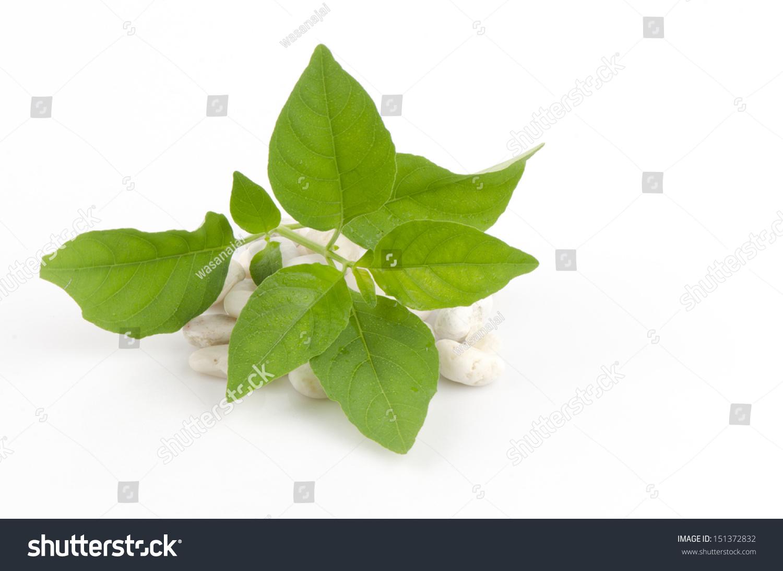 White Crane Flower Rhinacanthus Nasutus L Stock Photo Edit Now