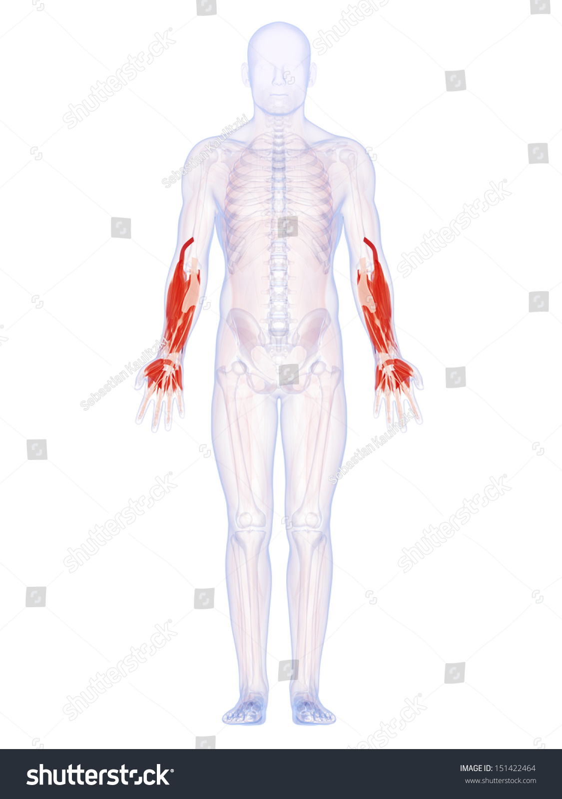 3 D Rendered Illustration Lower Arm Muscles Stock Illustration ...