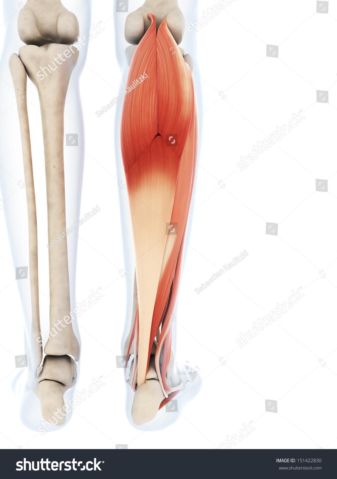 3 D Rendered Illustration Lower Leg Muscles Stock Illustration ...