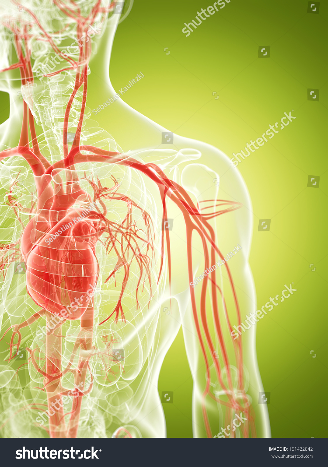 3 D Rendered Illustration Vascular System Stock Illustration