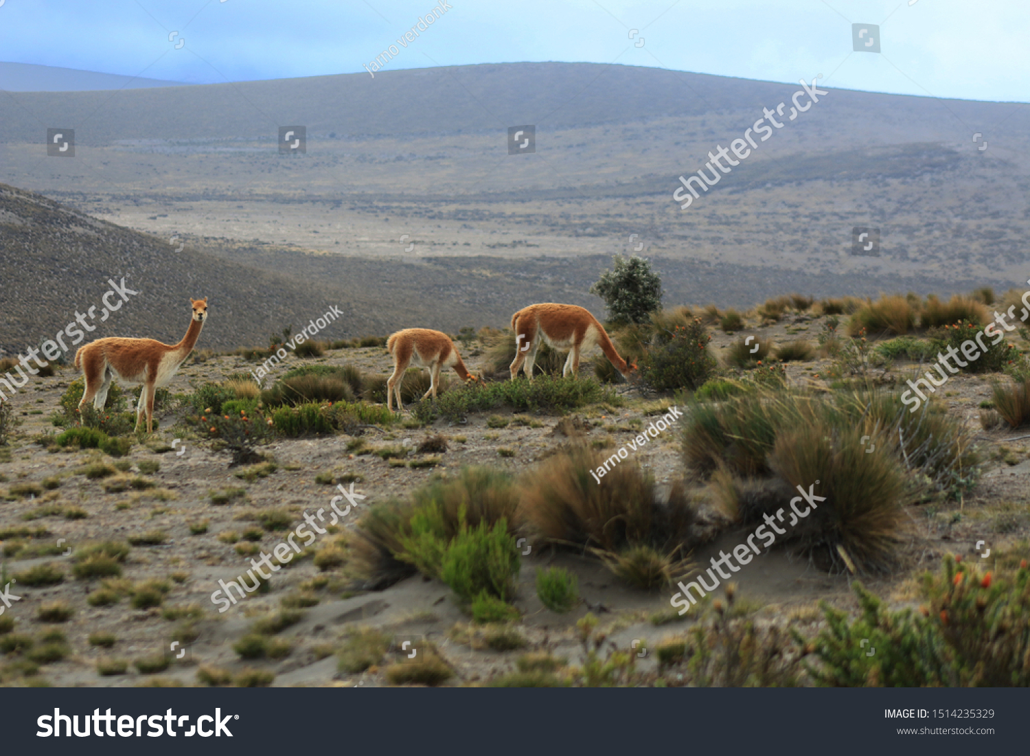 A family of vicunas or wild lamas in the sierra of ecuador