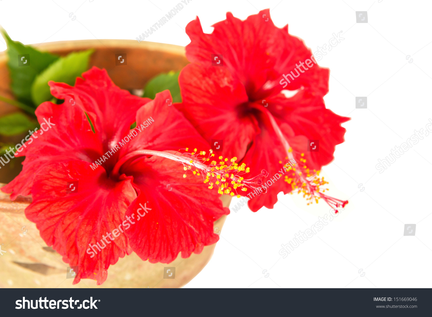 Red Hibiscus Flower White Background Stock Photo (Edit Now ...