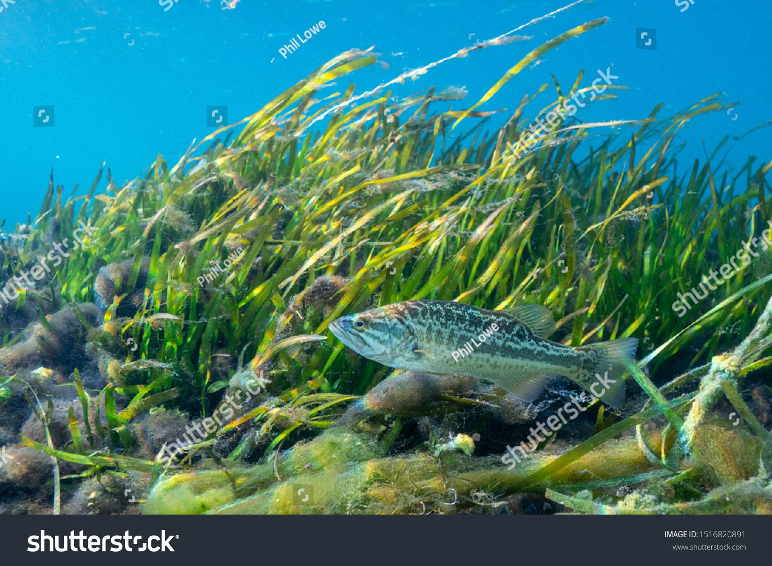 stock-photo-a-young-largemouth-bass-micr