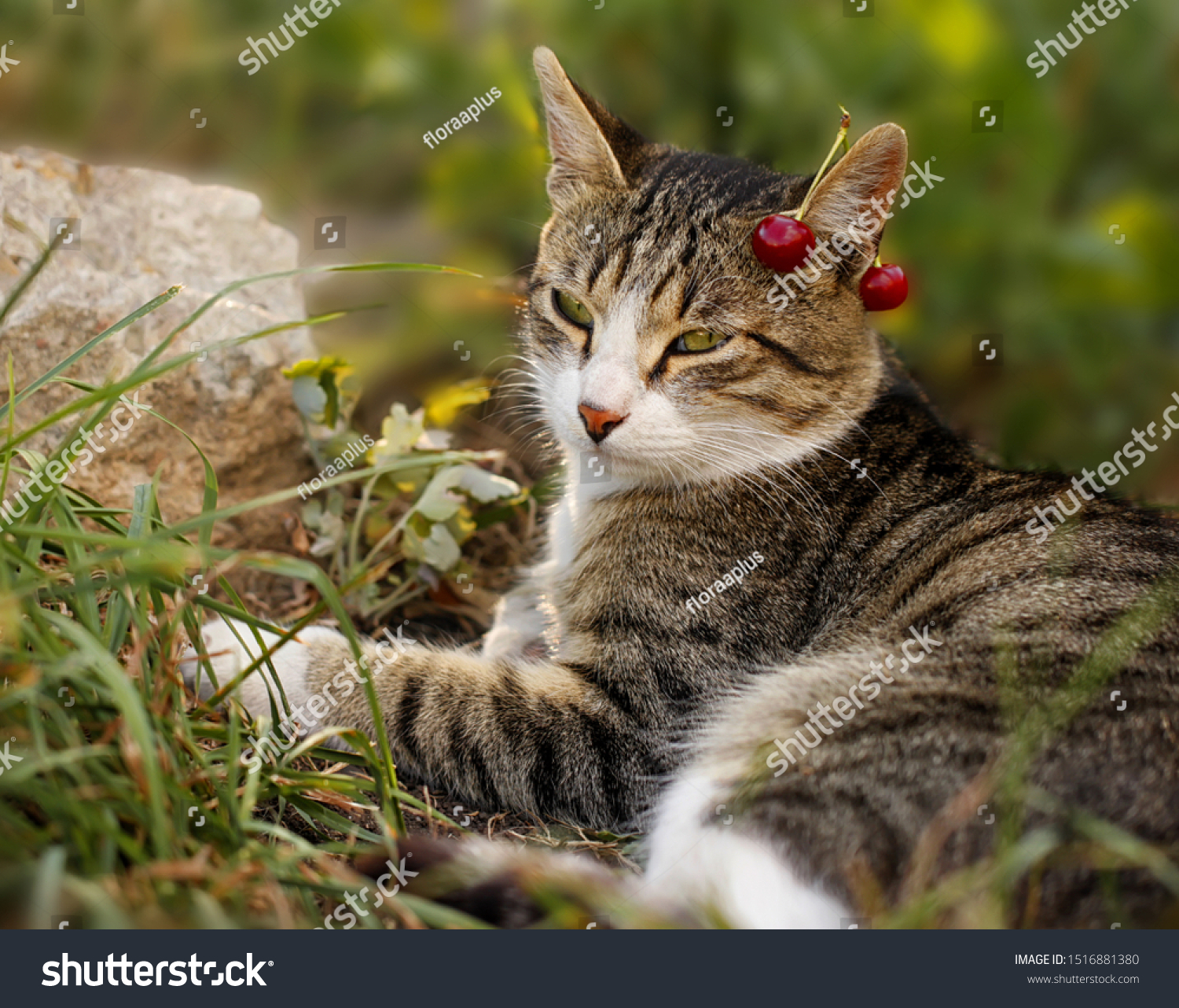 A grey striped cat, with green eyes and cherries on his ear, resting in the grass. Warm summer garden scene with pet.