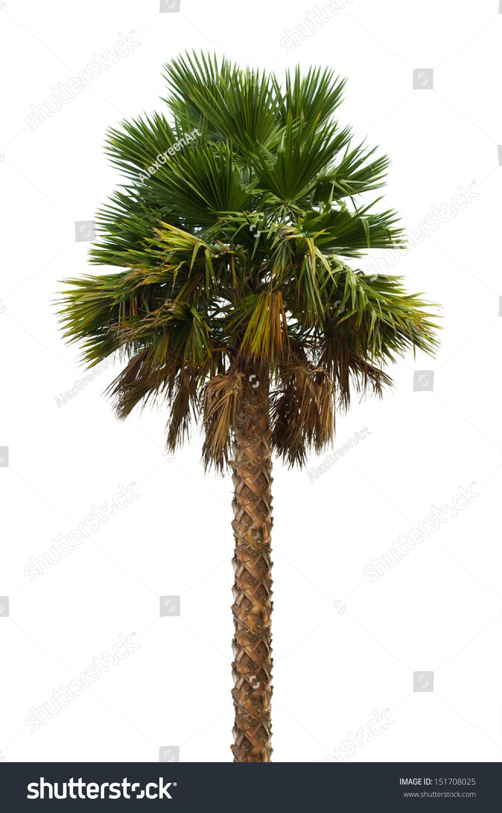 palm tree white - photo #36