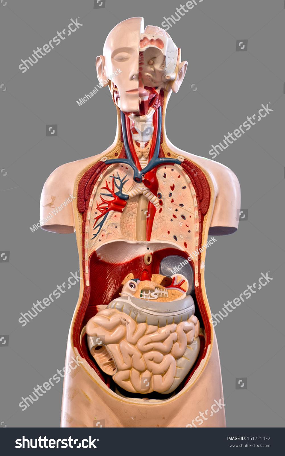 Human Anatomy Doll Model Stock Photo Image Royalty Free
