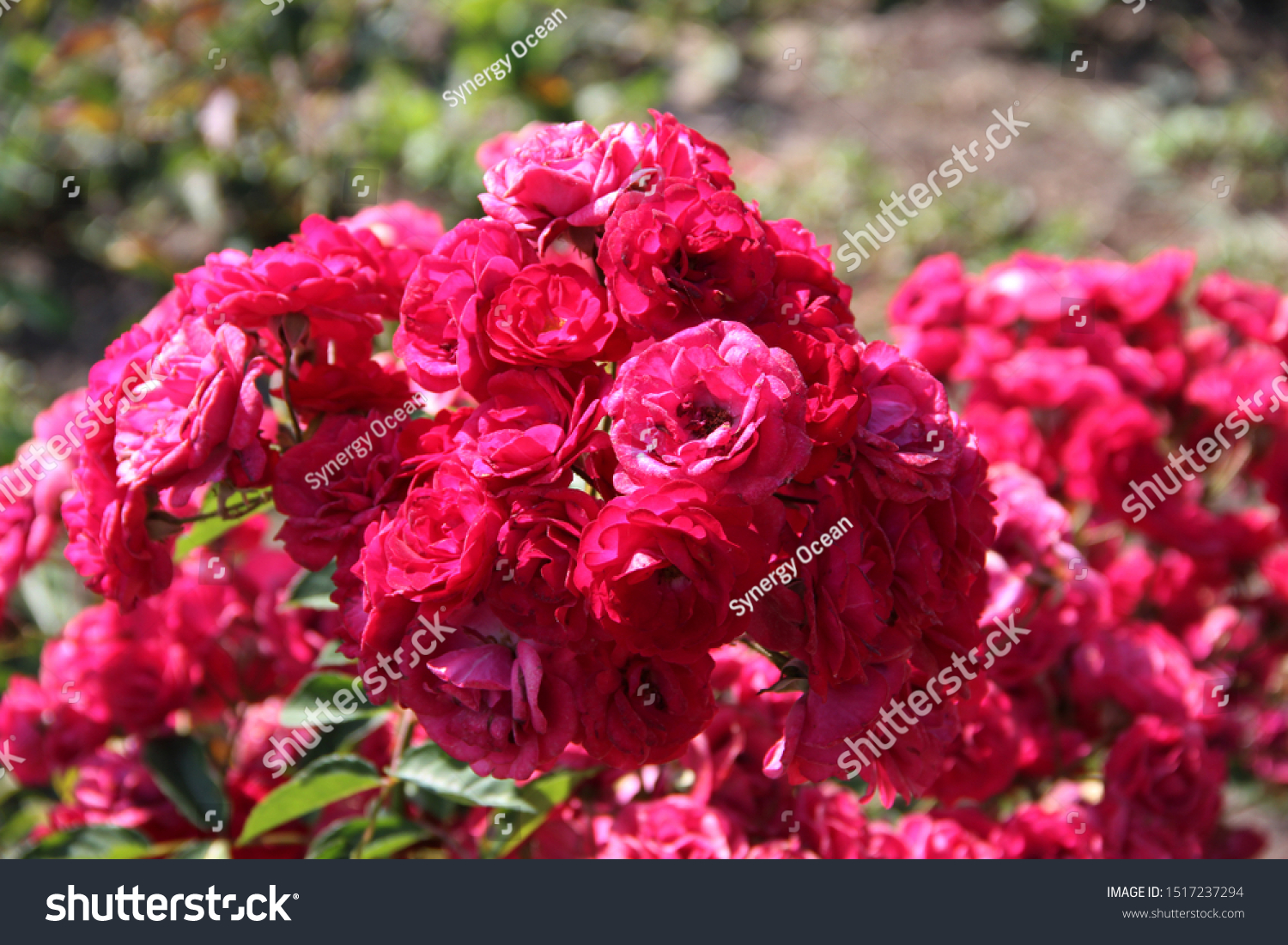 Beautiful Floral Landscape Pink Tender Roses Stock Photo Edit Now