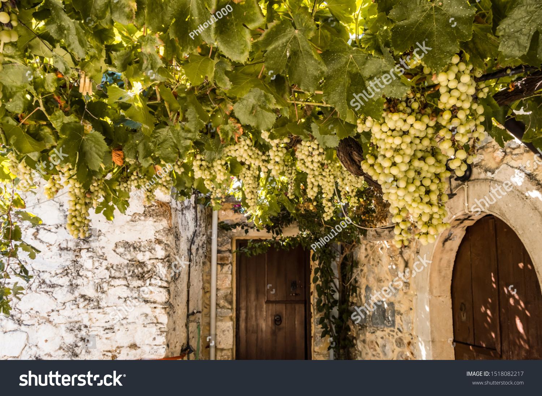 Vigne White Grapes Suspended On Pergola Stock Photo Edit Now 1518082217