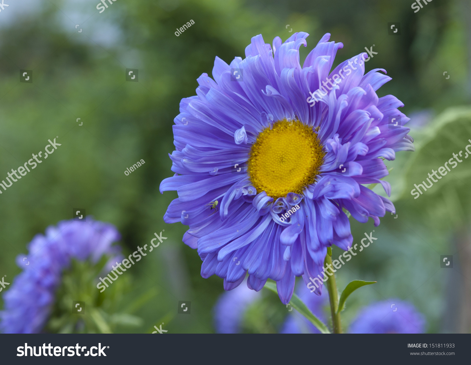 Blue Aster Flower Bed Stock Photo Edit Now 151811933 Shutterstock