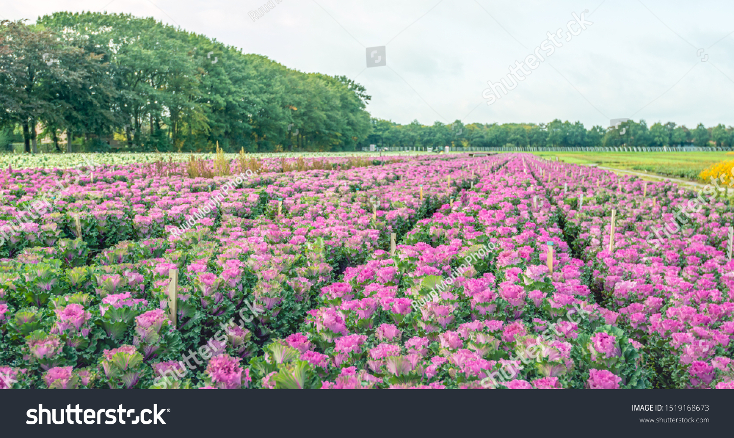 Large Field Long Converging Flower Beds Stock Photo Edit Now