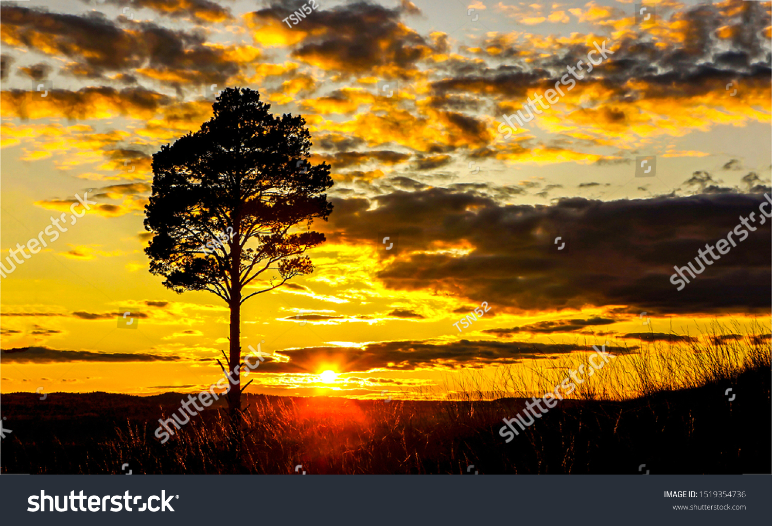 Sunset field tree silhouette landscape. Sunset tree silhouette. Sunset tree field view. Sunset tree sky clouds landscape. Sunset field tree sky clouds view #1519354736