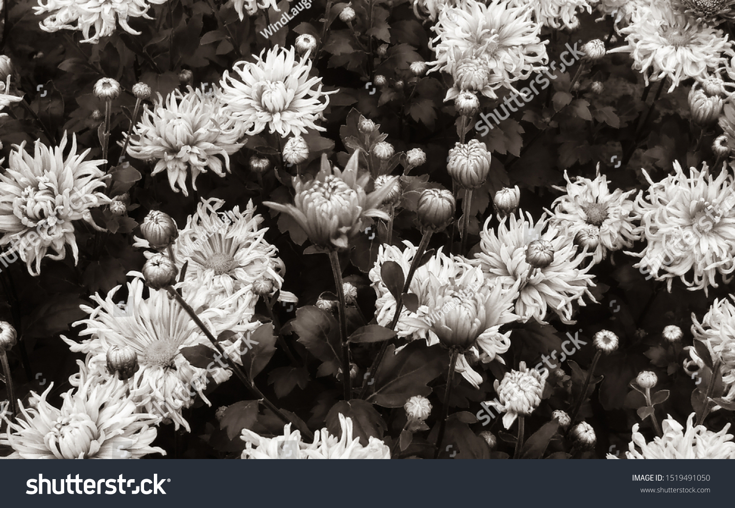 Chrysanthemum Closeup White Daisy Flowers Macro Stock Photo Edit