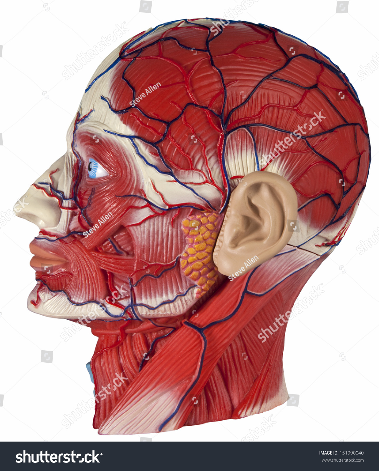 Human Physiology Model Human Head Showing Stock Photo Edit Now