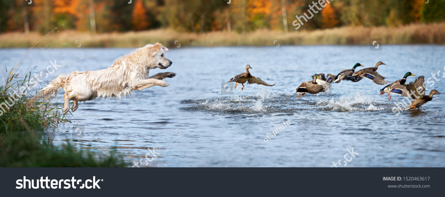 golden retriever dog jumping into water hunting ducks #1520463617