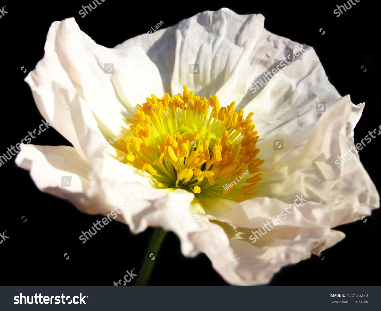 Bright Pretty White California Poppy Flower On A Black Background