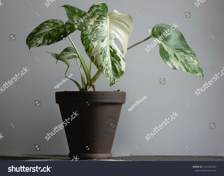 Borsigiana