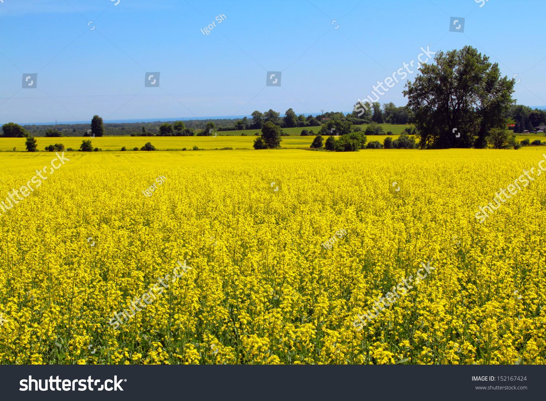 Canola Field Vista Yellow Canola Flowers Stock Photo Royalty Free
