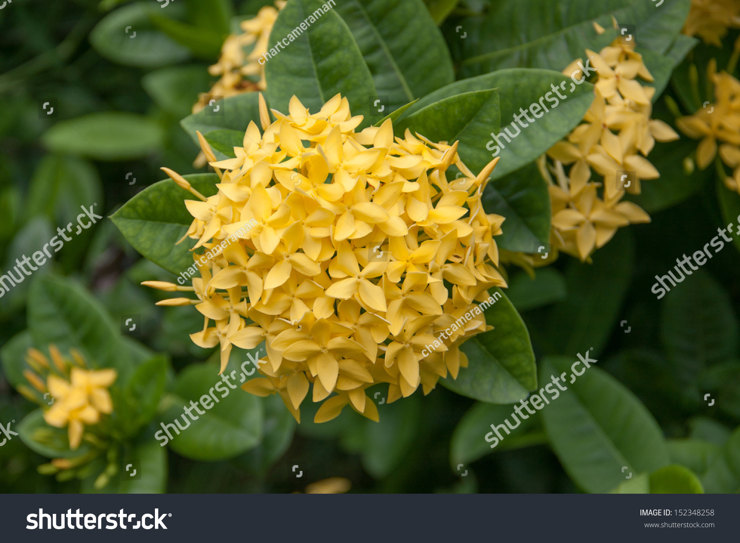 Panicle yellow ixoras west indian jasmine stock photo edit now panicle of yellow ixoras west indian jasmine flower on its plant izmirmasajfo