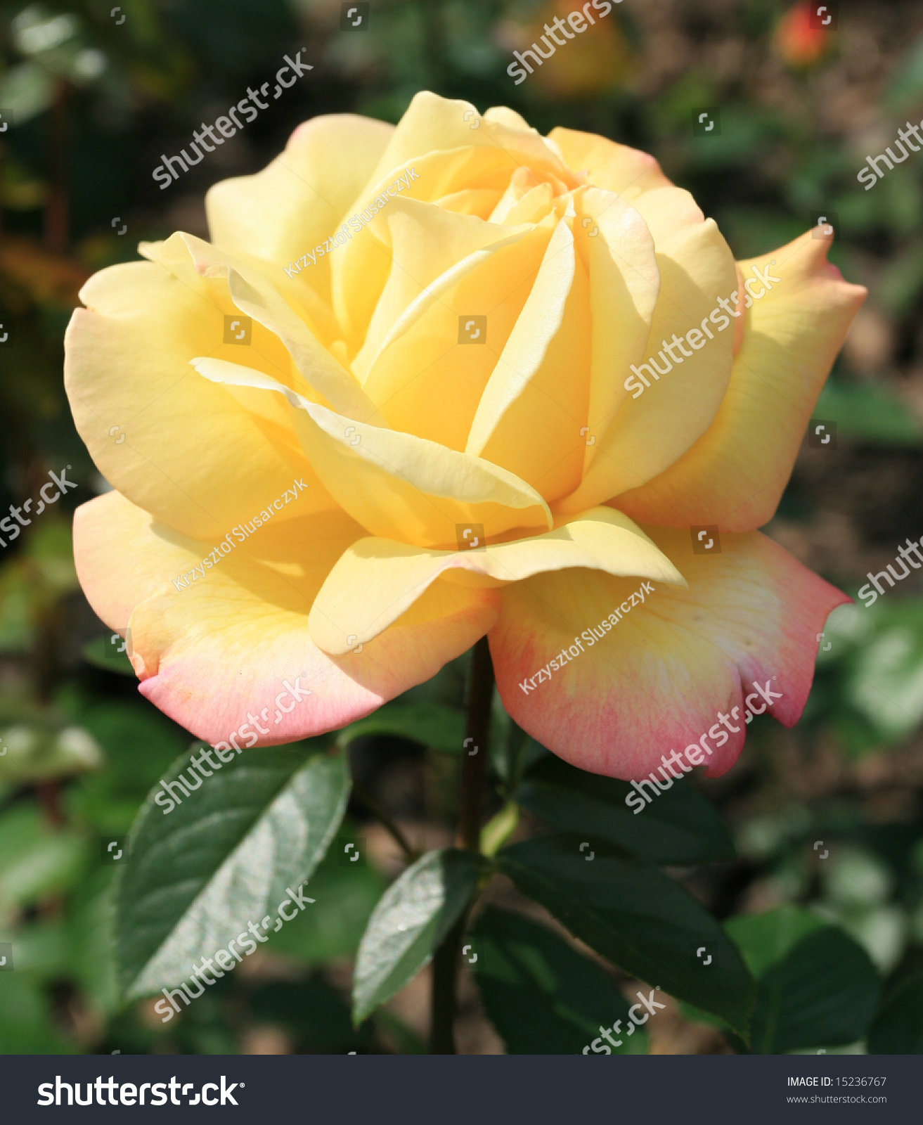 Yellow Rose Flower Nice Bokeh Background Stock Photo Edit Now