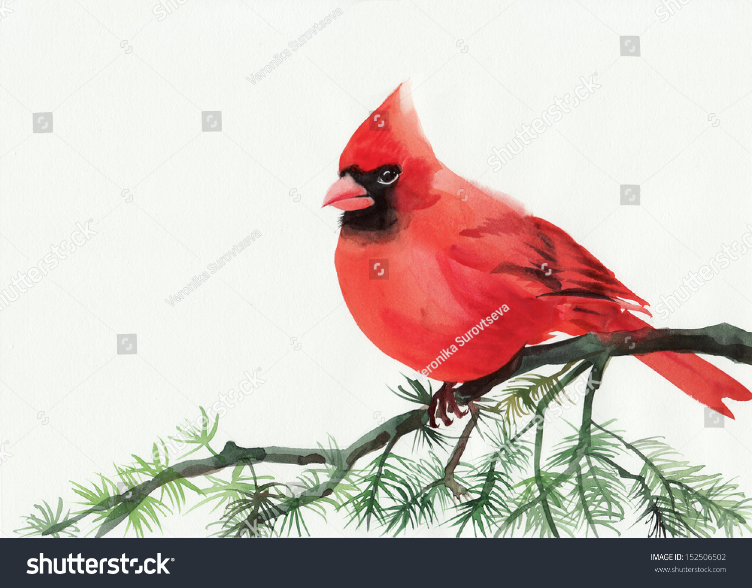 Watercolor Painting Of Cardinal Bird Sitting On A Branch Stock Photo ...