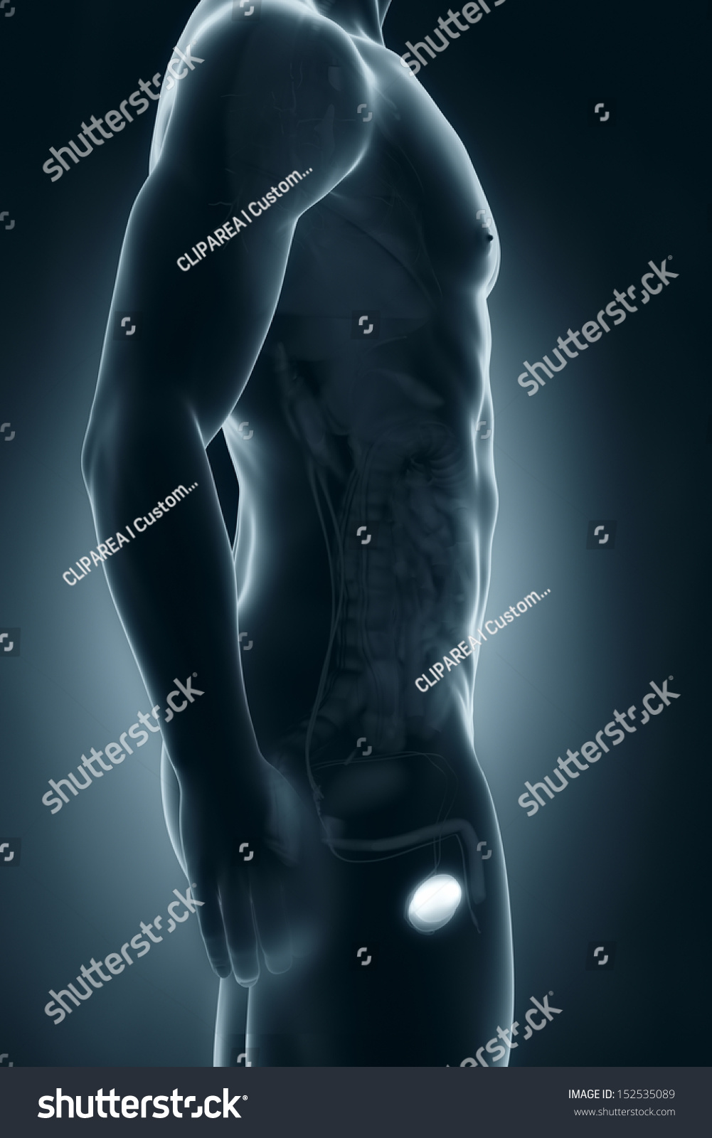 Male Testes Anatomy Lateral View Stock Illustration 152535089 ...
