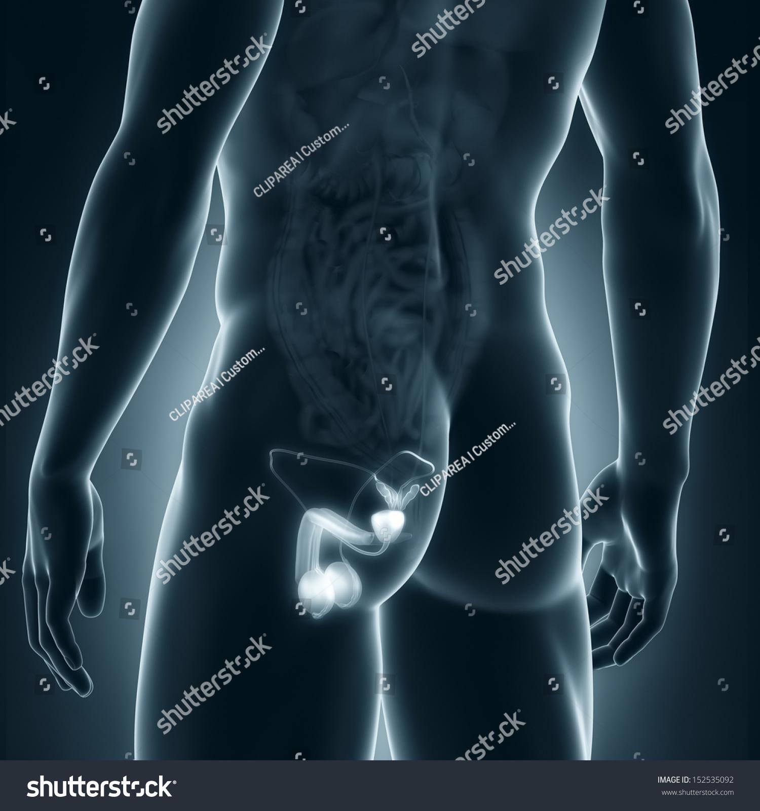Male Genitals Anatomy Posterior View Stock Illustration 152535092 ...