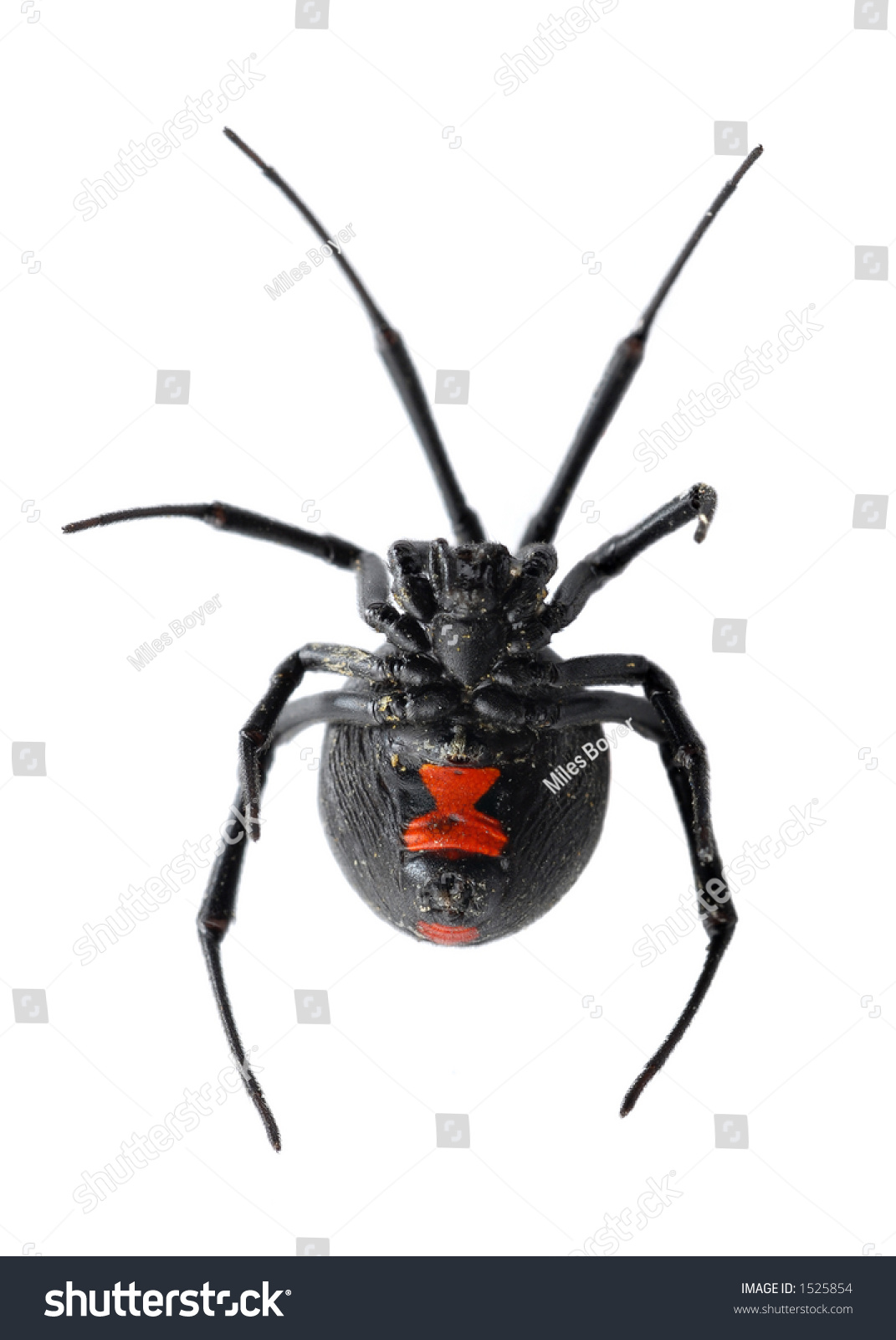 Black Widow Spider Isolated On White Stock Photo 1525854 ...