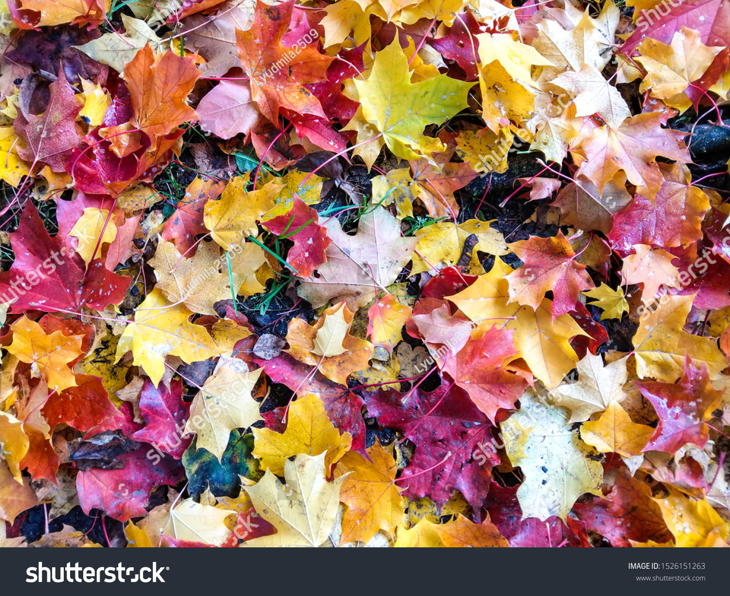 Autumn maple leaves background view. Autumn maple leaves. Autumn maple leafs. Autumn maple leaves ground #1526151263
