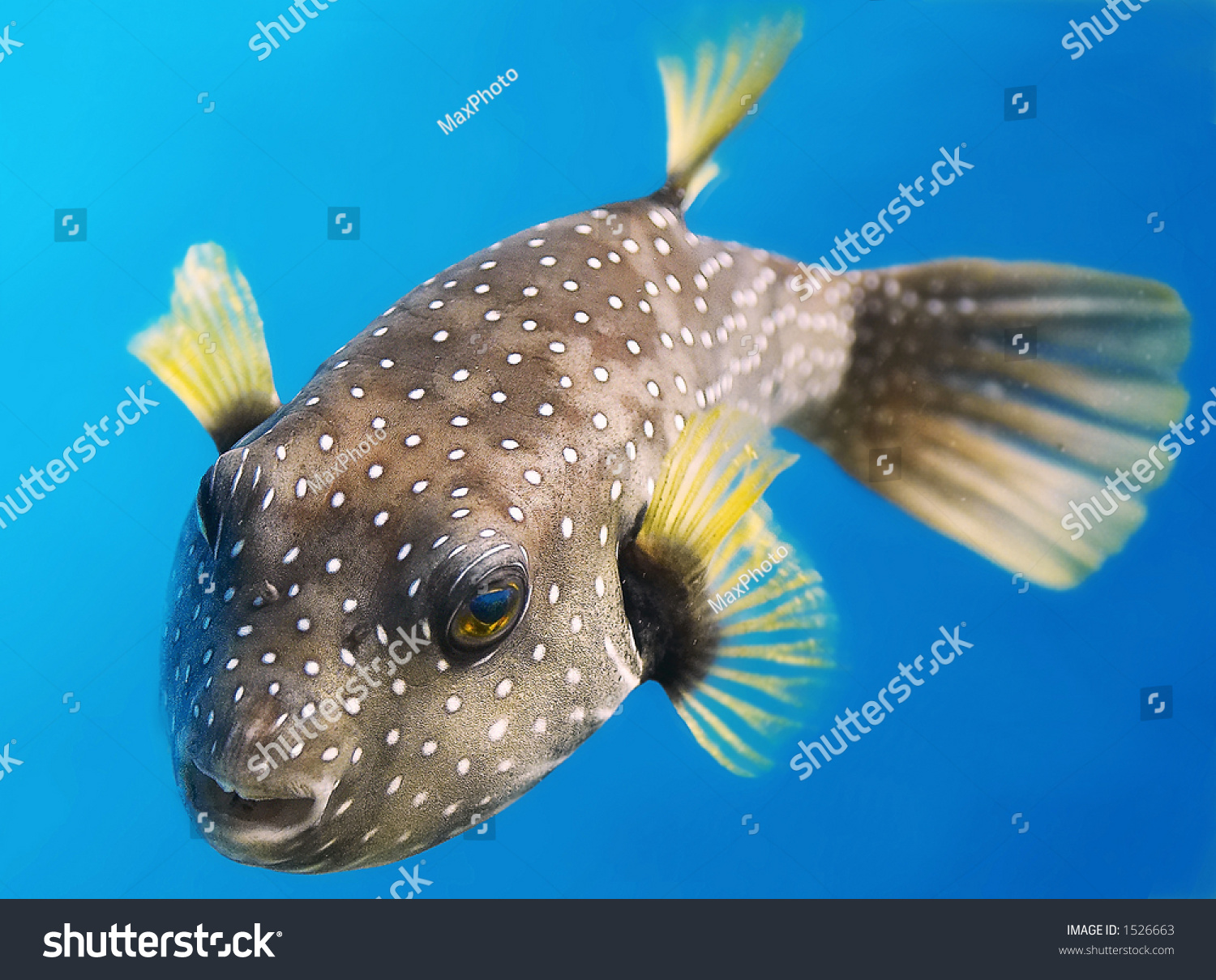 Tropical Fish Pacific Ocean Stock Photo 1526663 Shutterstock
